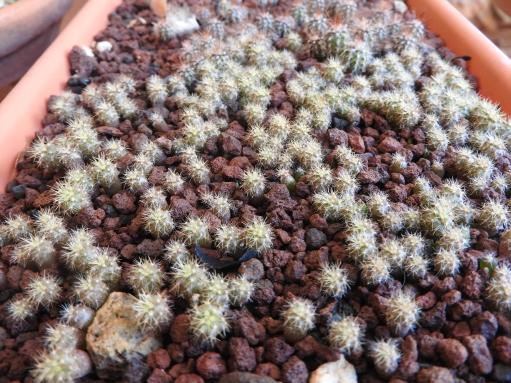 Semillero de Echinocactus grusonii de tres meses de edad